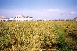 石川県能美市のハトムギ畑