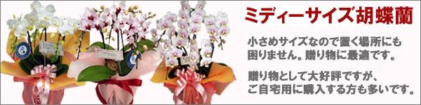 ミディーサイズ胡蝶蘭