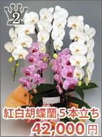紅白胡蝶蘭