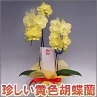 黄色胡蝶蘭2本立ち