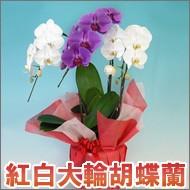 紅白胡蝶蘭3本立ち22輪