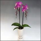 珍しい色の胡蝶蘭