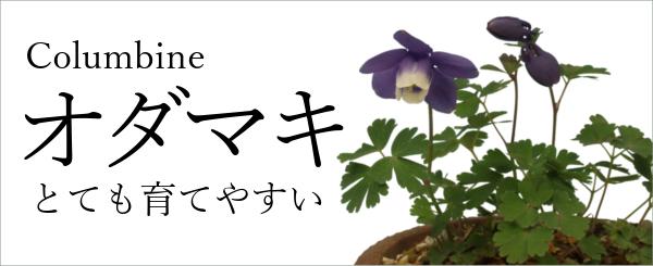 オダマキ,おだまき,苧環