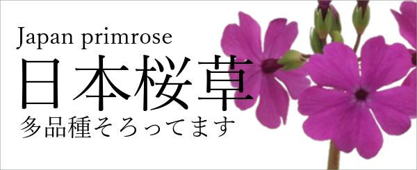 桜草,サクラソウ,日本桜草