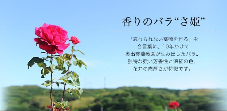 香りのバラ「さ姫」について