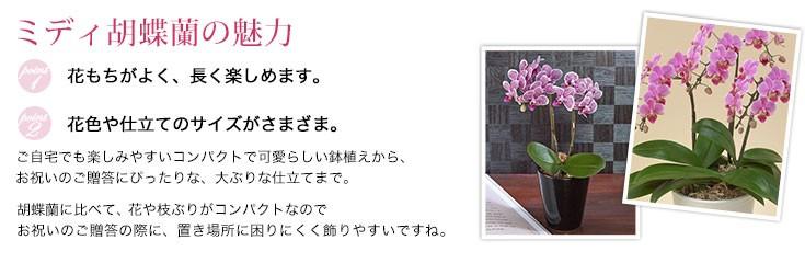 ミディ胡蝶蘭は胡蝶蘭に比べてコンパクトで飾りやすいです