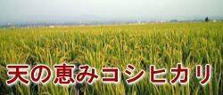 特別栽培米「天の恵み」コシヒカリ