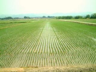 有機栽培の稲の成長