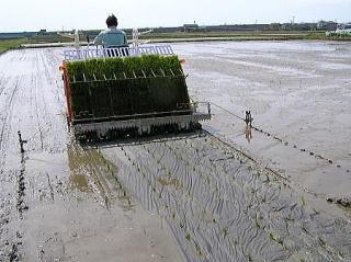 有機栽培で育てた苗を植えつけています