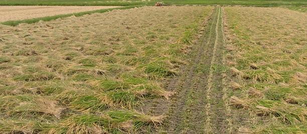天日干有機米のバインダーによる刈り倒し