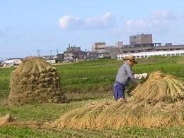 自然乾燥天日干有機栽培米