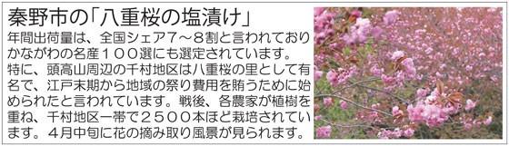 秦野市八重桜