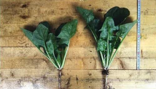 葉活酢(ようかつす)のほうれん草(露地栽培)での使用事例