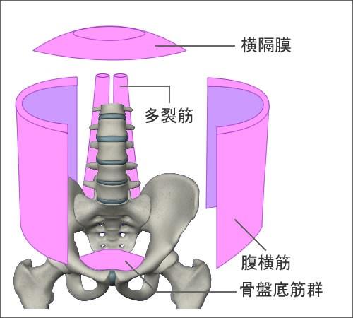 体幹を構成する腹横筋など