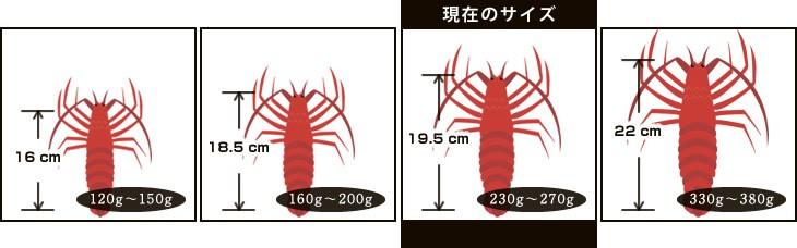 現在のサイズ:19.5cm/230g〜270g