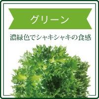 リーフレタスグリーン 濃緑色でシャキシャキの食感