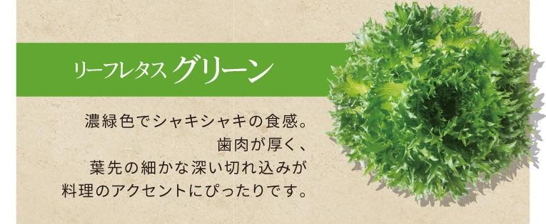 リーフレタス グリーン 濃緑色でシャキシャキの食感。歯肉が厚く、葉先の細かな深い切れ込みが料理のアクセントにぴったりです。