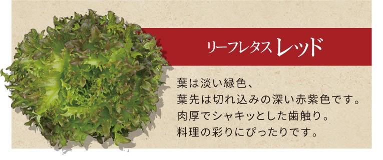 リーフレタス レッド 葉は淡い緑色、葉先は切れ込みの深い赤紫色です。肉厚でシャキッとした歯触り。料理の彩りにぴったりです。