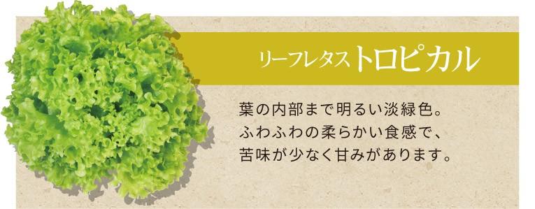 リーフレタス トロピカル 葉の内部まで明るい淡緑色。ふわふわの柔らかい食感で、苦味が少なく甘みがあります。