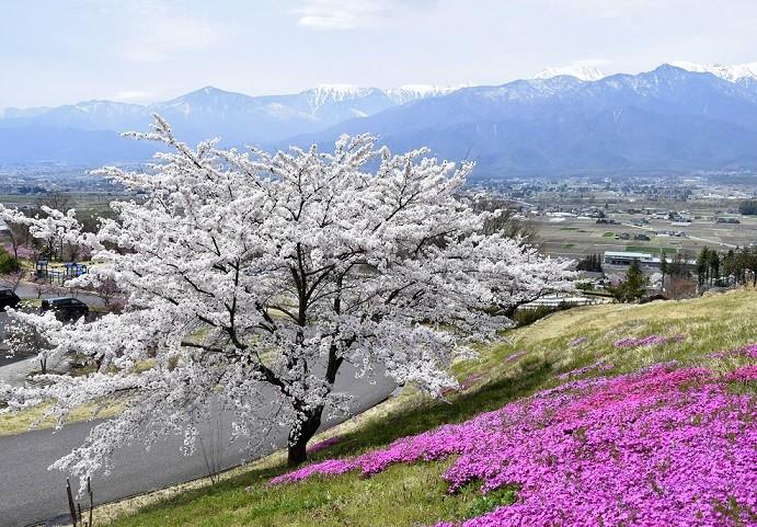 4月池田町の桜