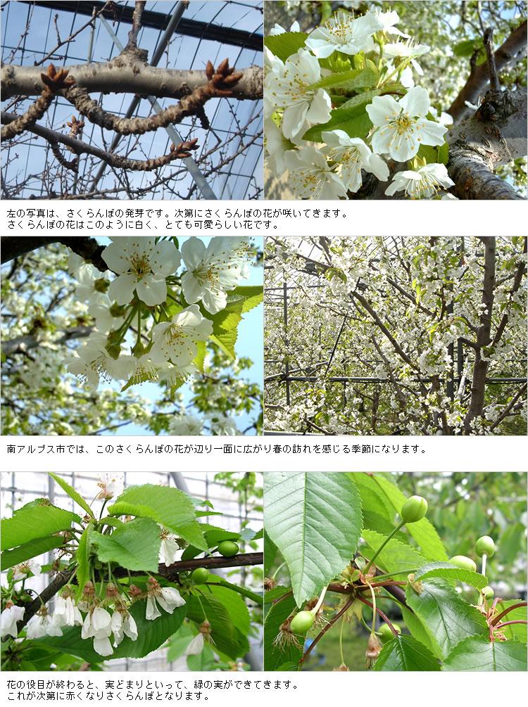 さくらんぼ発芽から花まで