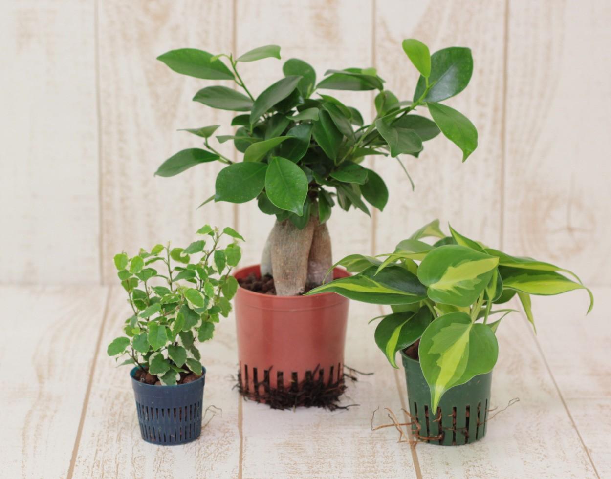 土を使わずに植物を育てる水耕栽培【ハイドロカルチャー】