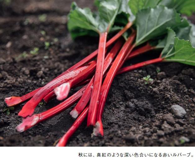 秋には、真紅のような深い色合いになる赤いルバーブ。