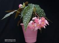 木立性べゴニア KAGOENオリジナル交配品種