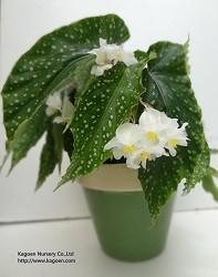 木立性ベゴニアKAGOENオリジナル交配品種