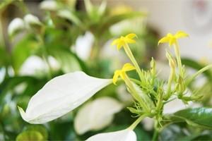 インテリアグリーン観葉植物  コンロンカ ハンカチの木 鉢植え 送料無料 ネット通販花屋花樹有(かじゅある )