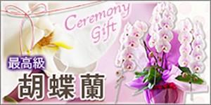 胡蝶蘭 ビジネスフラワーギフト 供花 お祝い