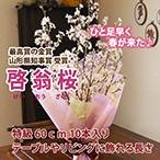 山形の啓翁桜 テーブルやリビング用 60cm)