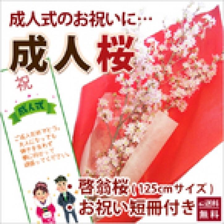 山形の啓翁桜 成人の日に届く豪快に飾れるロングサイズ125cm