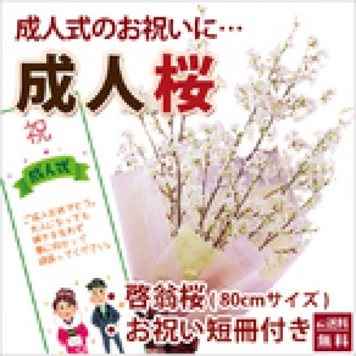 山形の啓翁桜 成人の日に届く 気軽に飾れるサイズ80cm啓翁桜