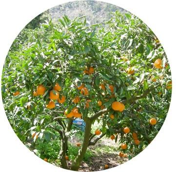 愛媛の清見オレンジ