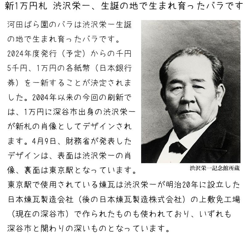 渋沢栄一 生誕の地で生まれ育ったバラです