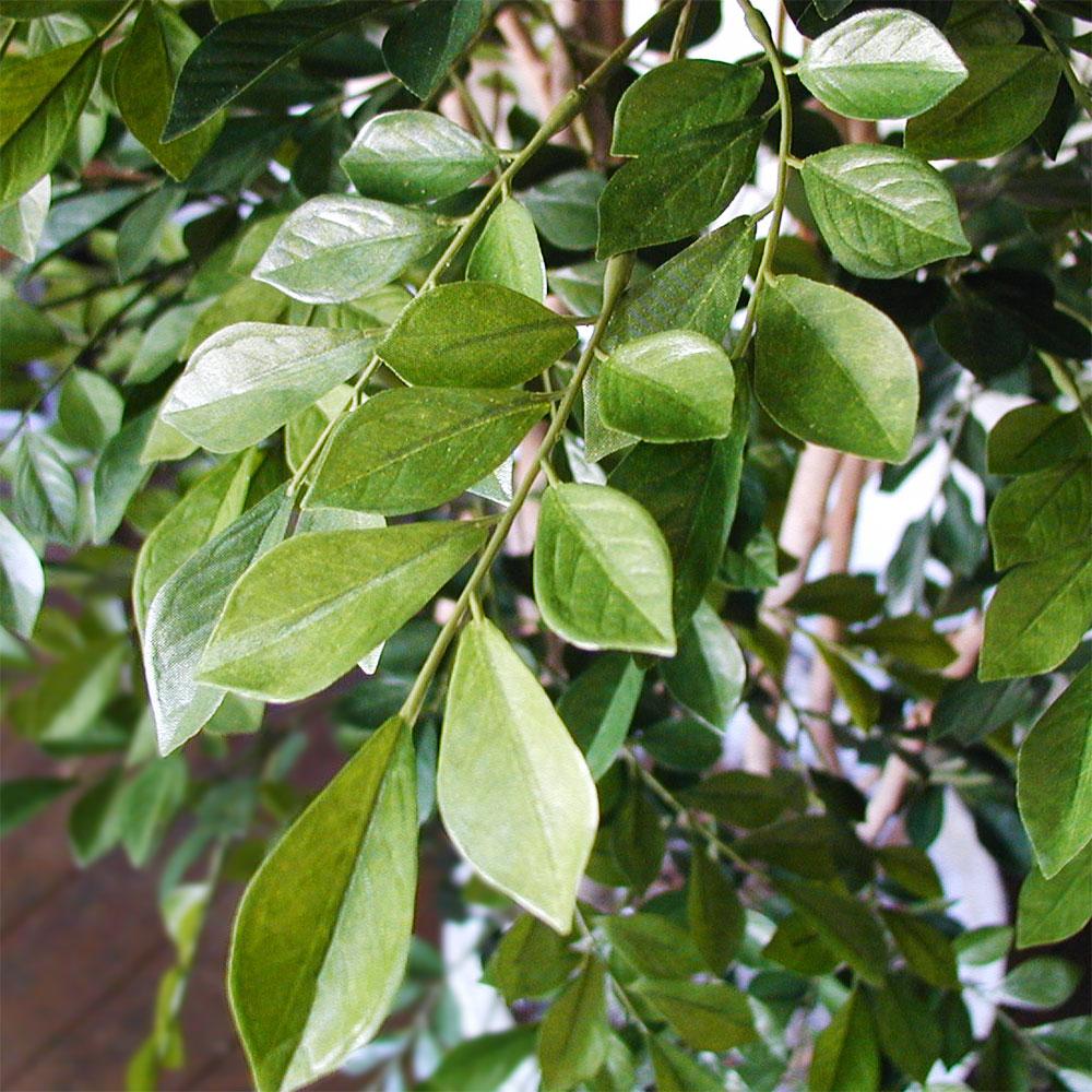 さわやかな色彩で丸いトネリコの葉は明るい空間創りに最適です。