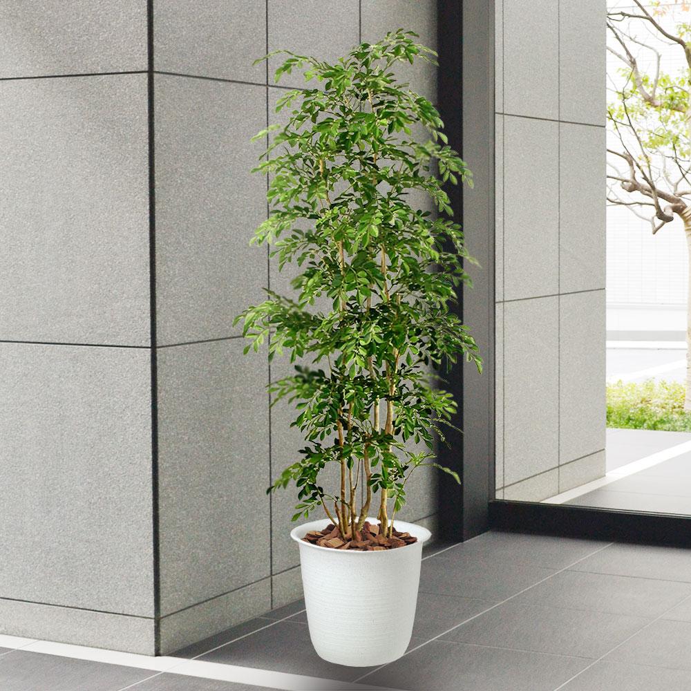 トネリコは商業施設や共同住宅のエントランスにもモダンなイメージで飾ることができます。