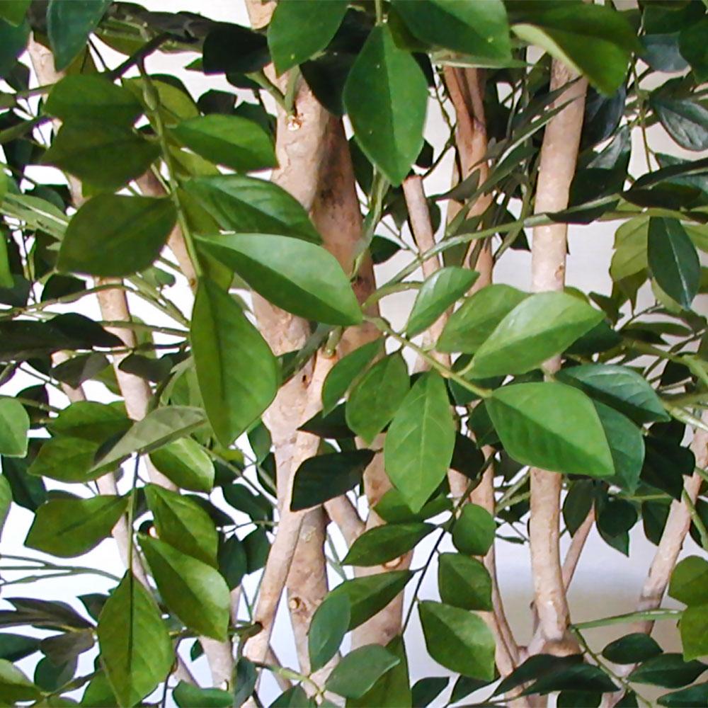 トネリコの枝は細めで、よりナチュラルに仕上げています。
