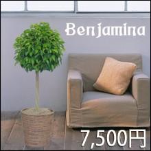 観葉植物 ベンジャミン トピアリー仕立