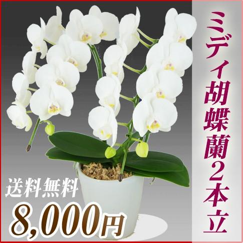 ミディ胡蝶蘭2本立 8,000円