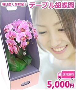 テーブル胡蝶蘭2本立 ピンク系
