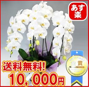贈答用胡蝶蘭3本立10,000円