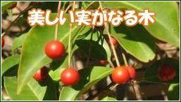 美しい実がなる苗木