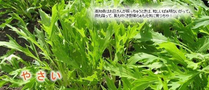 【やさい】高知県はお日さんが照っちゅうときは、眩しいばぁ明るいがって。雨も降って、風も吹くき野菜らぁも元気に育つちや!