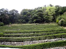 四万十茶の茶畑