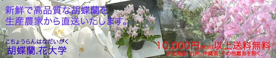 洋蘭の鉄人「森田洋蘭園」の胡蝶蘭を産地直送でお届けします。
