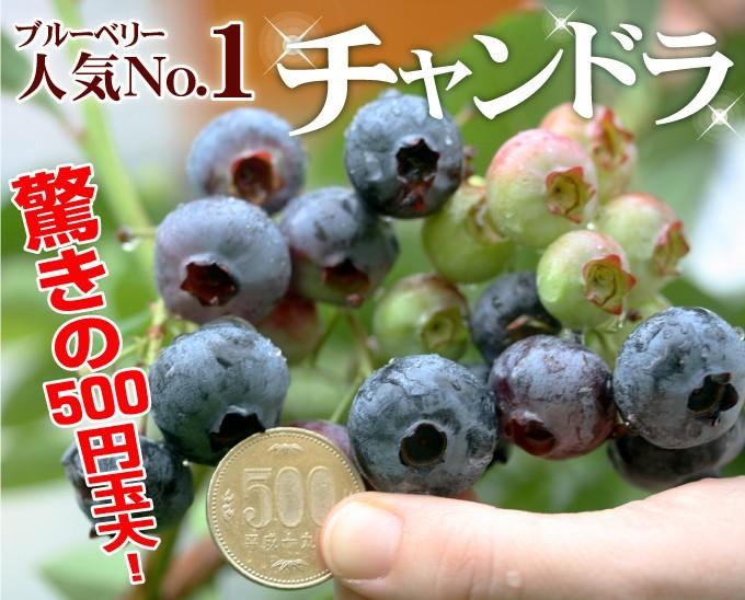 ブルーベリー 苗木 チャンドラ 500円