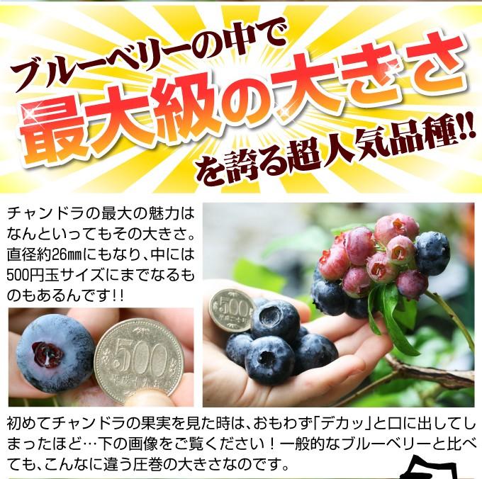 ブルーベリー 苗木 チャンドラ 大粒