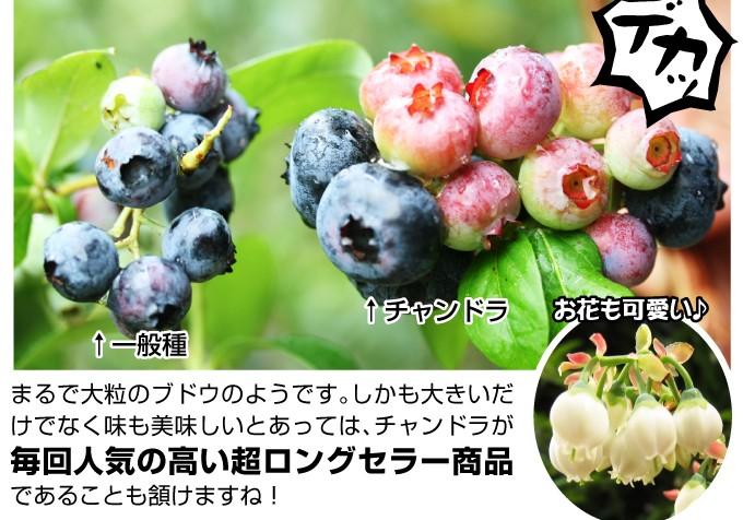 ブルーベリー 苗木 チャンドラ 美味